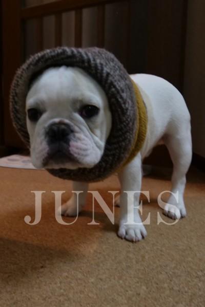 ハニチヨ フレンチブルドッグ(Hanichiyo Frenchbulldog)の写真